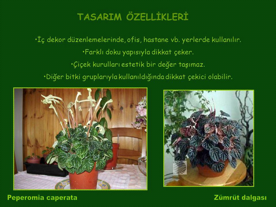 Peperomia caperata Zümrüt dalgası TASARIM ÖZELLİKLERİ