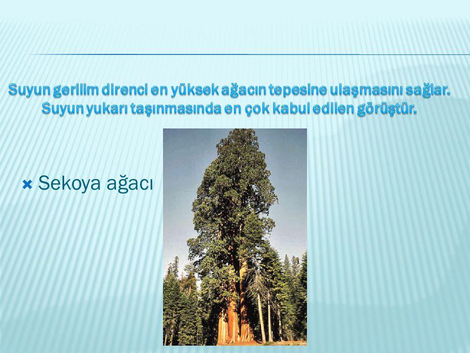 Suyun gerilim direnci en yüksek ağacın tepesine ulaşmasını sağlar