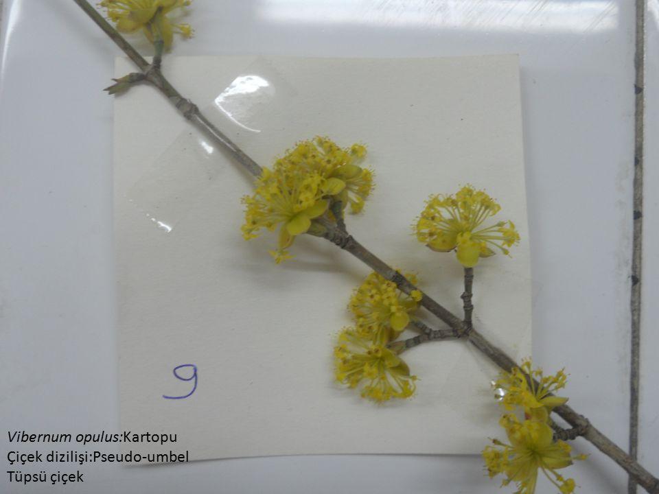 Vibernum opulus:Kartopu