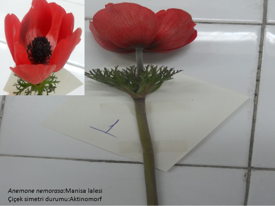 Anemone nemorasa:Manisa lalesi