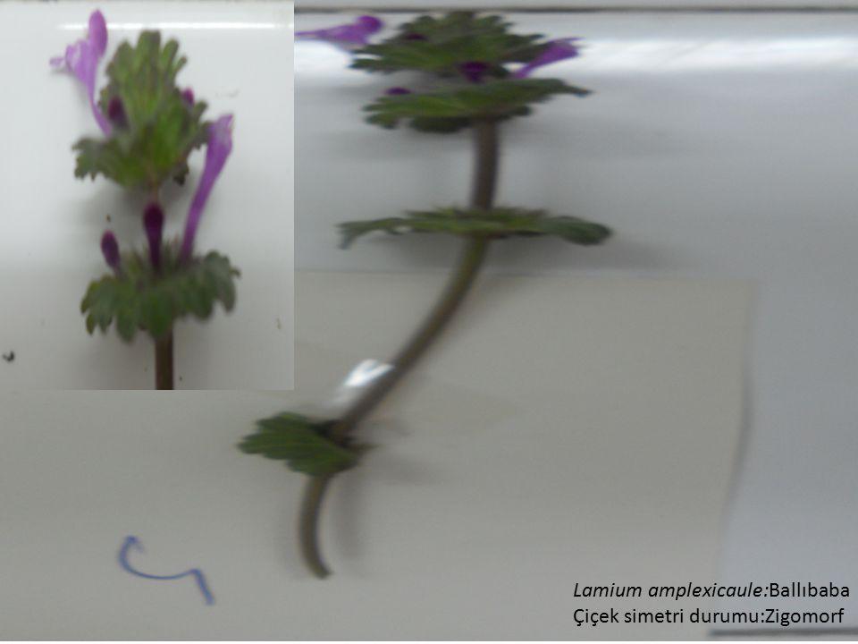Lamium amplexicaule:Ballıbaba