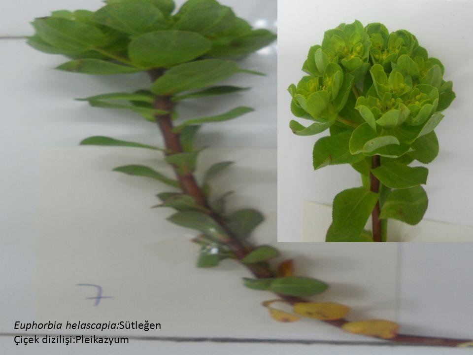 Euphorbia helascapia:Sütleğen
