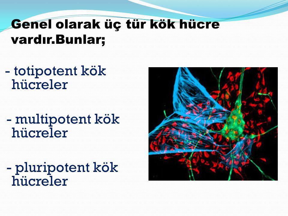 - multipotent kök hücreler