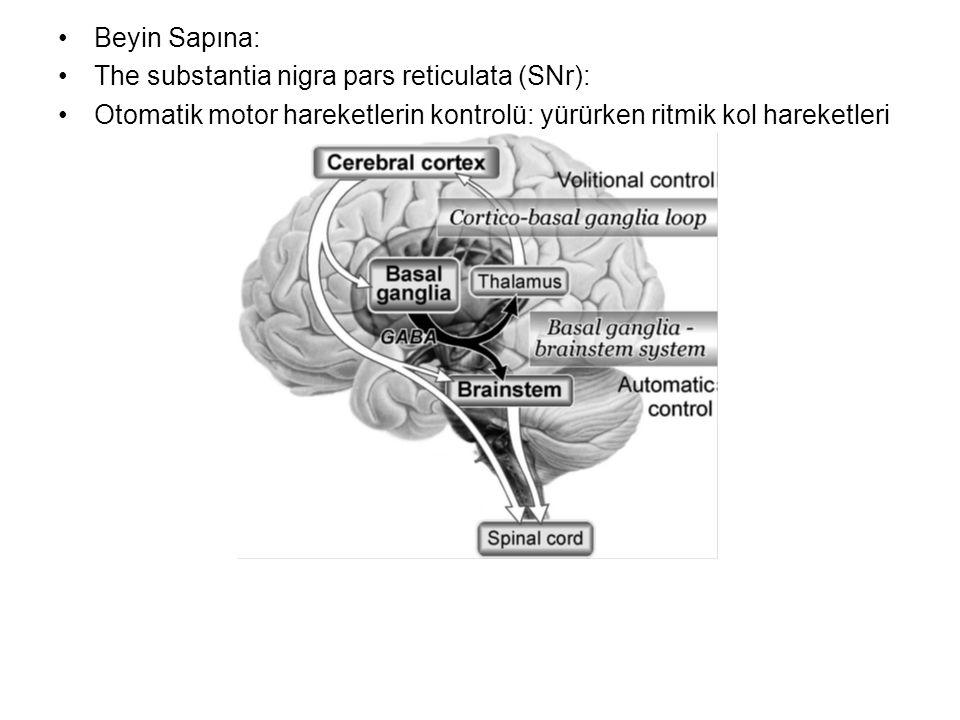 Beyin Sapına: The substantia nigra pars reticulata (SNr): Otomatik motor hareketlerin kontrolü: yürürken ritmik kol hareketleri.