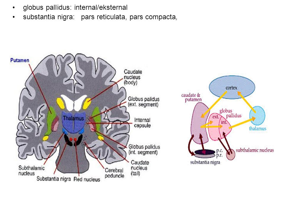 globus palIidus: internal/eksternal