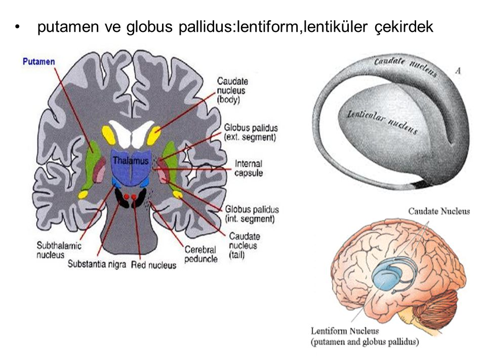 putamen ve globus pallidus:lentiform,lentiküler çekirdek