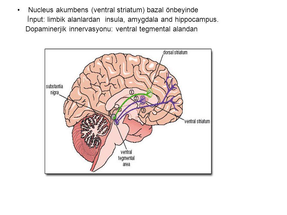 Nucleus akumbens (ventral striatum) bazal önbeyinde