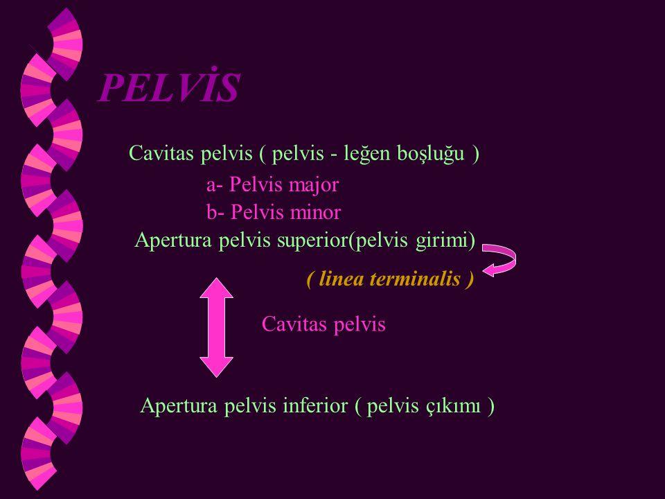 PELVİS Cavitas pelvis ( pelvis - leğen boşluğu ) a- Pelvis major