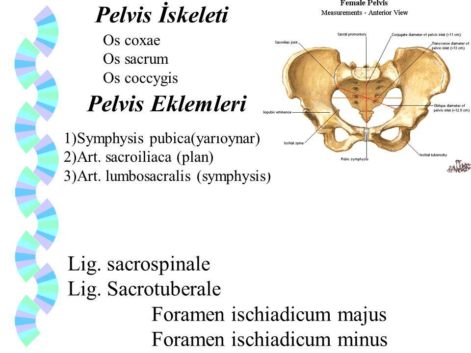 Pelvis İskeleti Pelvis Eklemleri Lig. sacrospinale Lig. Sacrotuberale
