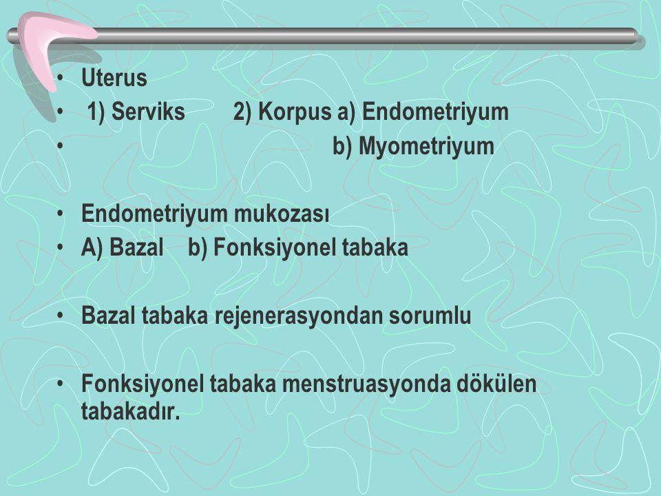Uterus 1) Serviks 2) Korpus a) Endometriyum. b) Myometriyum. Endometriyum mukozası. A) Bazal b) Fonksiyonel tabaka.