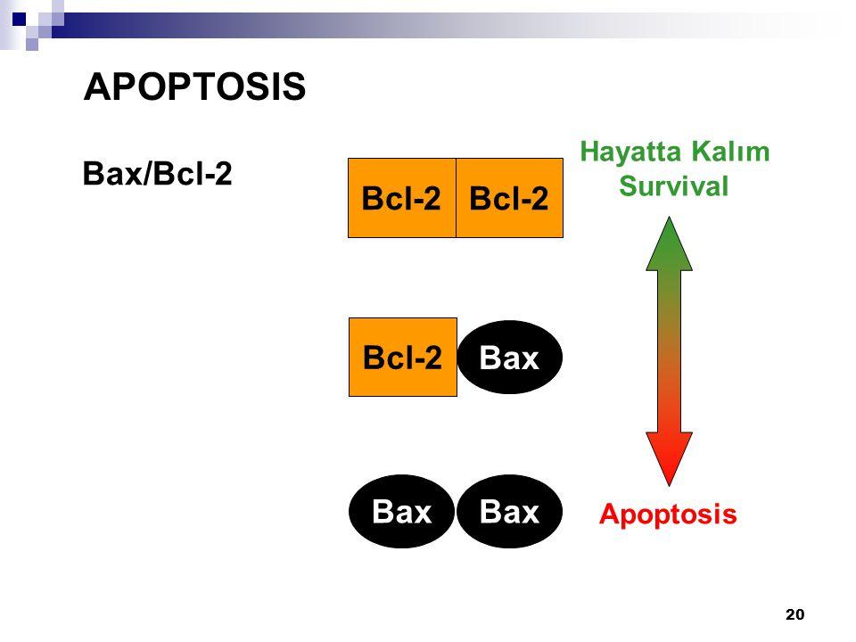 APOPTOSIS Bax/Bcl-2 Bcl-2 Bcl-2 Bax Bax Hayatta Kalım Survival