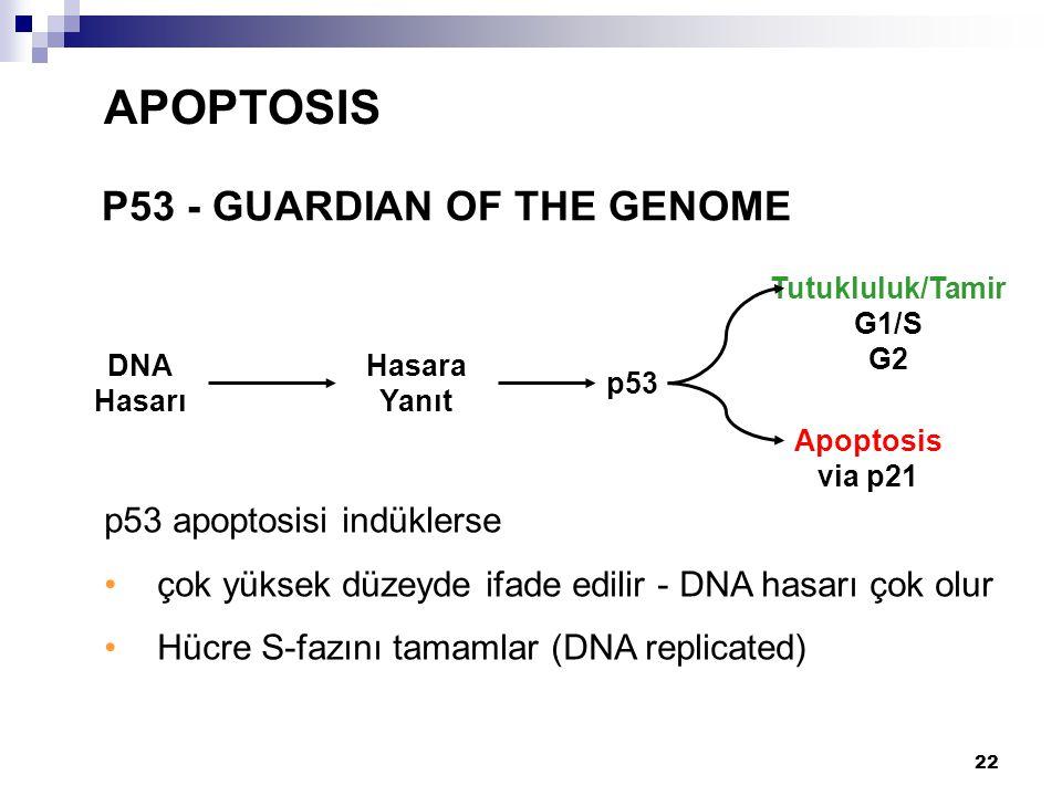 APOPTOSIS P53 - GUARDIAN OF THE GENOME p53 apoptosisi indüklerse