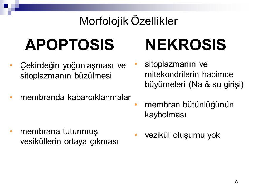 Morfolojik Özellikler