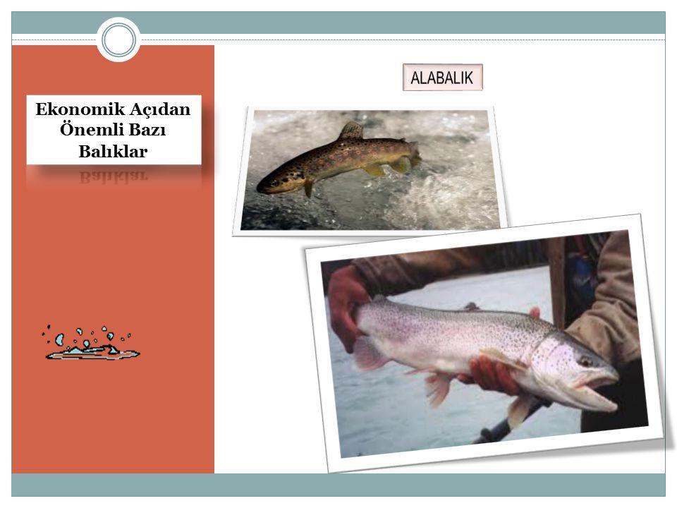 Ekonomik Açıdan Önemli Bazı Balıklar