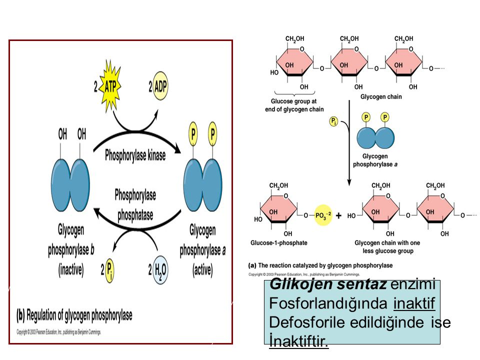 Glikojen sentaz enzimi