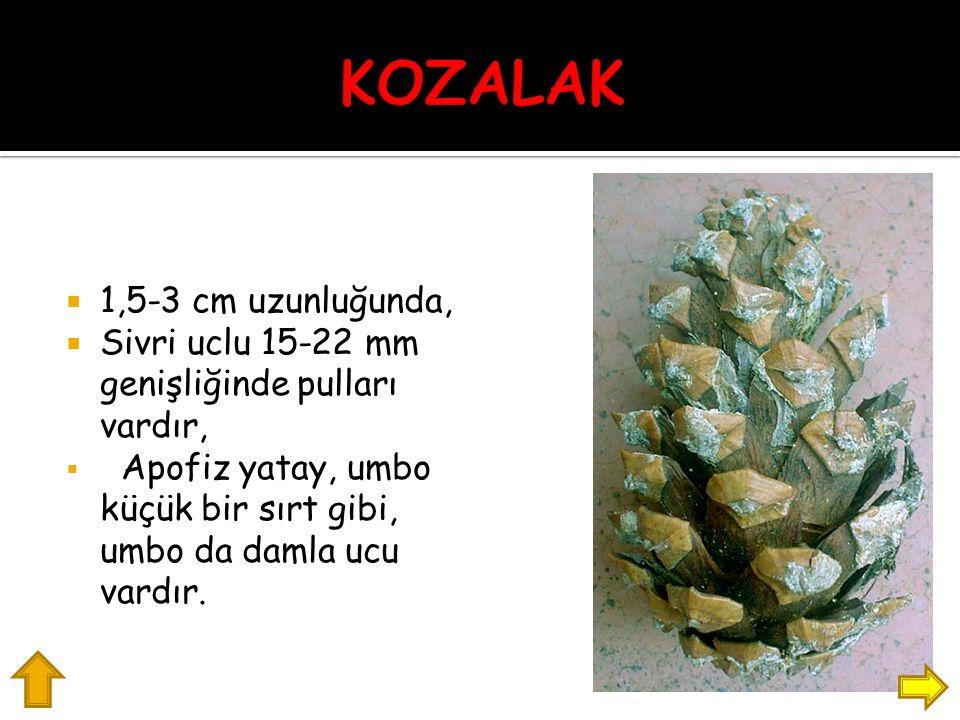 KOZALAK 1,5-3 cm uzunluğunda,