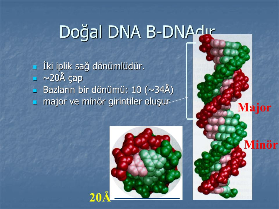 Doğal DNA B-DNAdır. Major Minör 20Å İki iplik sağ dönümlüdür. ~20Å çap