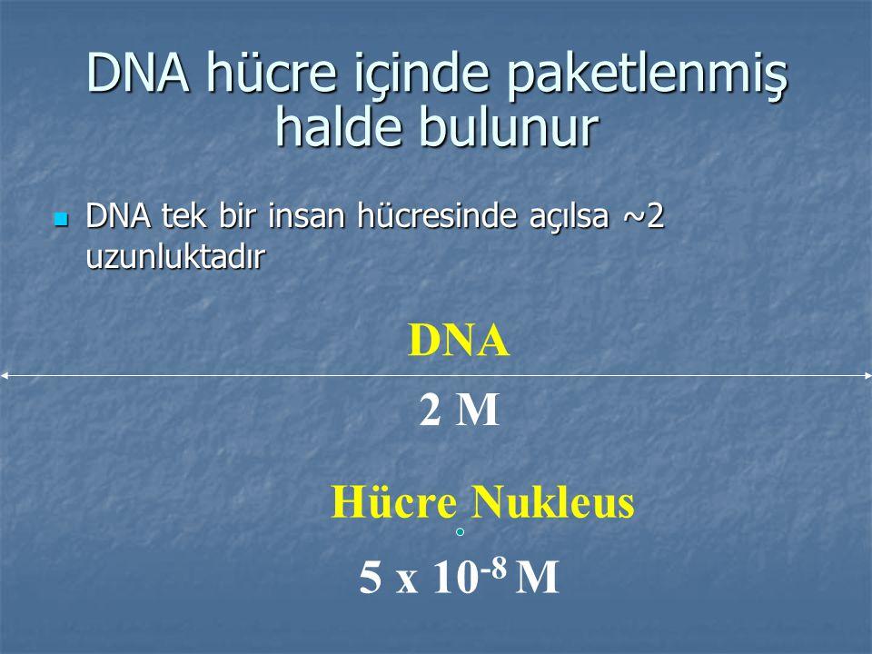 DNA hücre içinde paketlenmiş halde bulunur