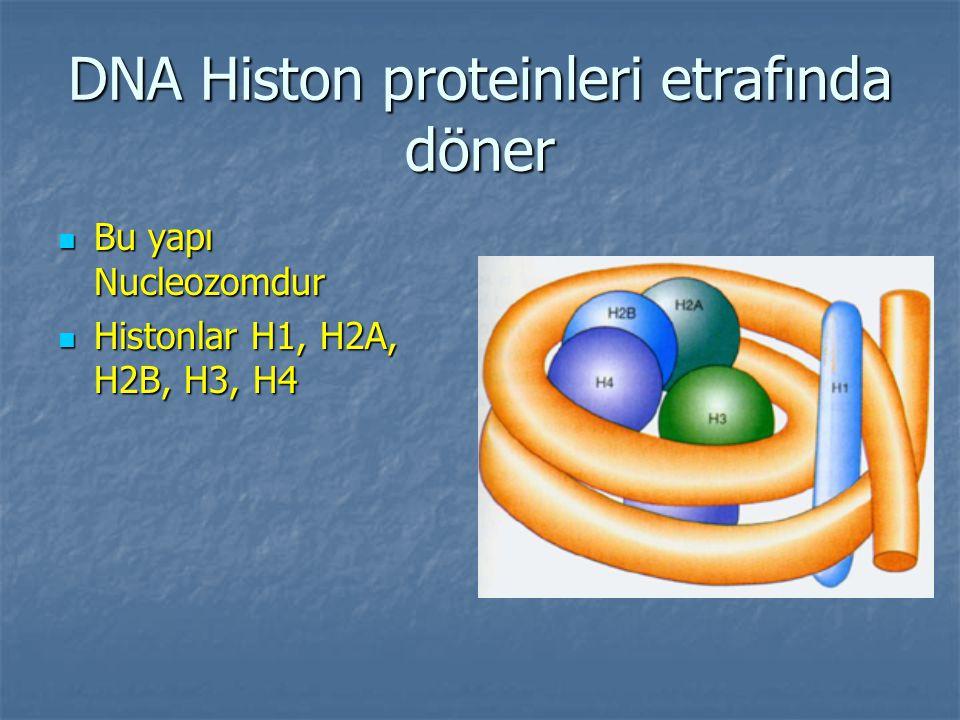 DNA Histon proteinleri etrafında döner