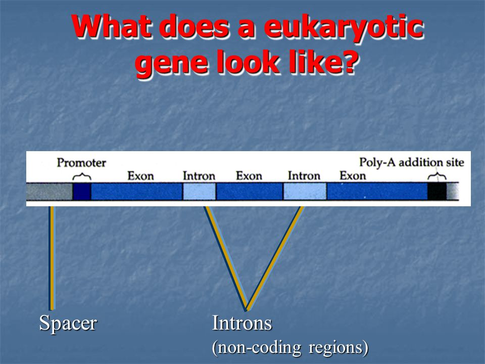 What does a eukaryotic gene look like