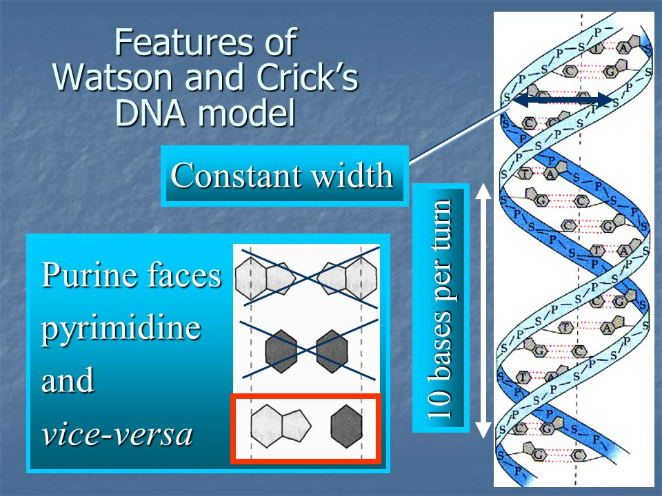 Features of Watson and Crick's DNA model