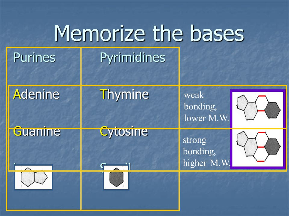 Memorize the bases Purines Pyrimidines Adenine Thymine