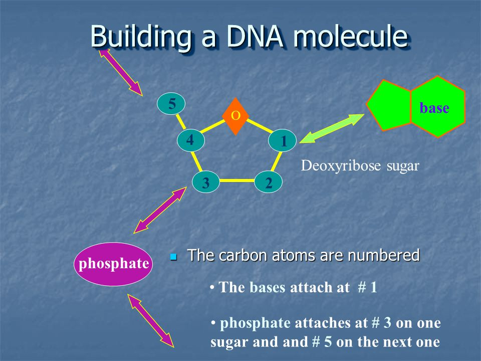 Building a DNA molecule