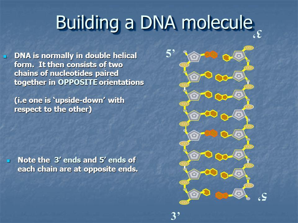Building a DNA molecule