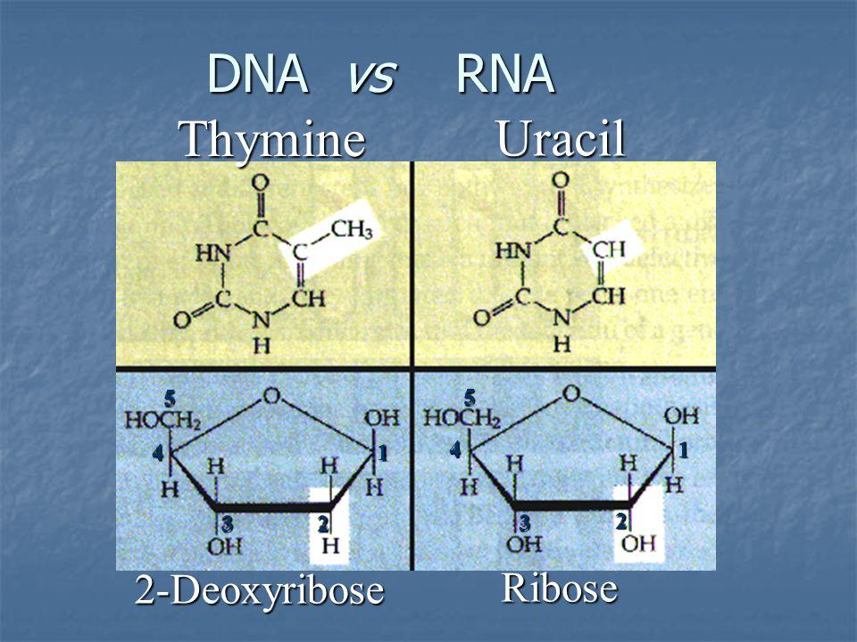 DNA vs RNA Thymine Uracil 5 5 4 1 4 1 3 2 3 2 2-Deoxyribose Ribose