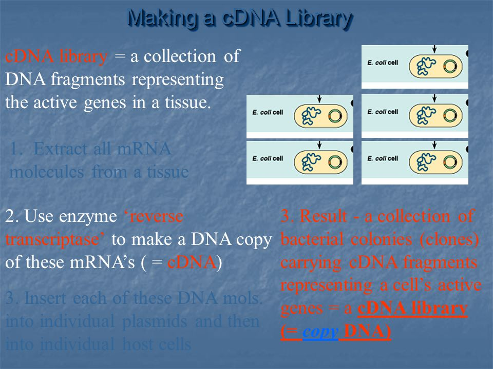 Making a cDNA Library cDNA library = a collection of DNA fragments representing the active genes in a tissue.