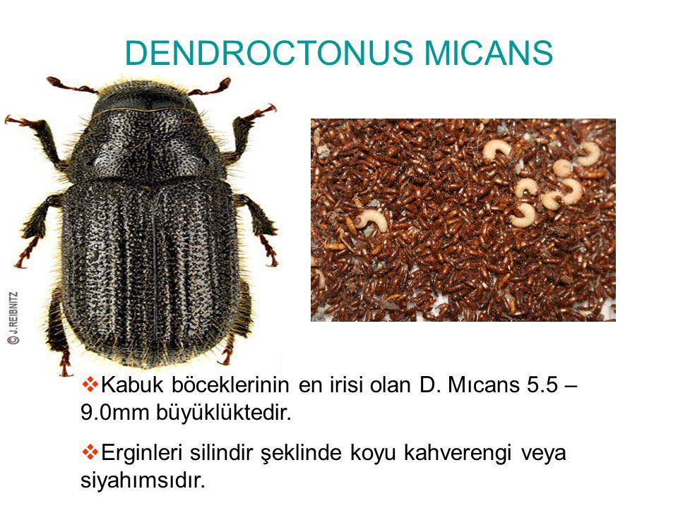 DENDROCTONUS MICANS Kabuk böceklerinin en irisi olan D. Mıcans 5.5 – 9.0mm büyüklüktedir.