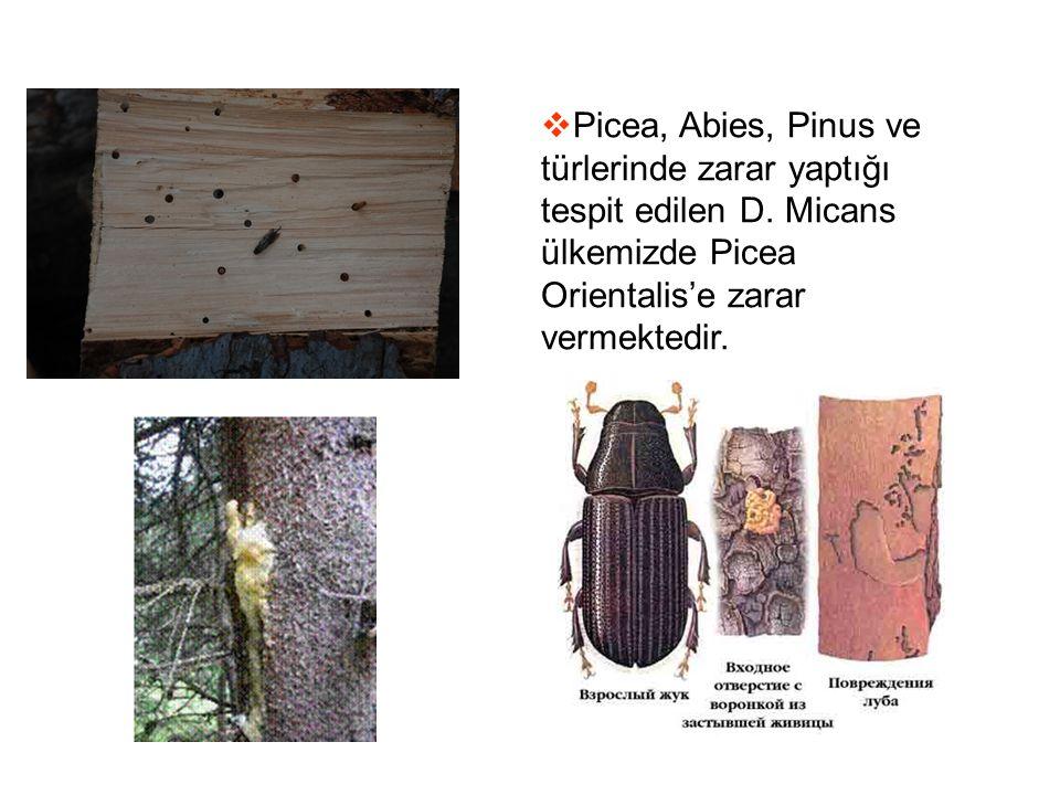 Picea, Abies, Pinus ve türlerinde zarar yaptığı tespit edilen D