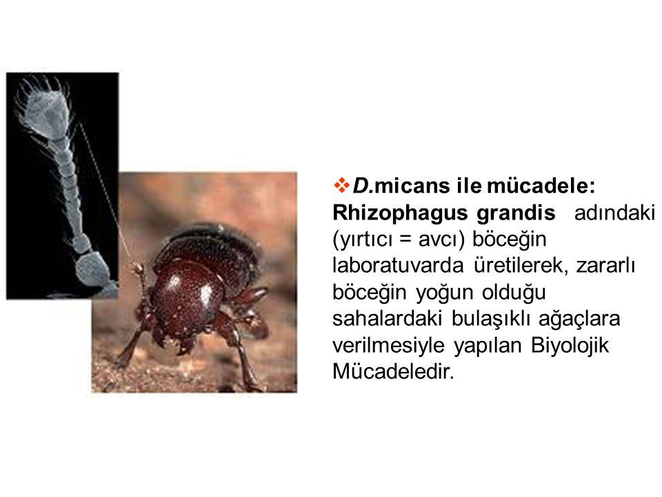D.micans ile mücadele: Rhizophagus grandis adındaki (yırtıcı = avcı) böceğin laboratuvarda üretilerek, zararlı böceğin yoğun olduğu sahalardaki bulaşıklı ağaçlara verilmesiyle yapılan Biyolojik Mücadeledir.