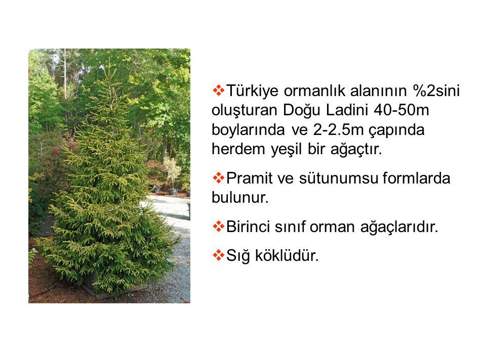 Türkiye ormanlık alanının %2sini oluşturan Doğu Ladini 40-50m boylarında ve 2-2.5m çapında herdem yeşil bir ağaçtır.