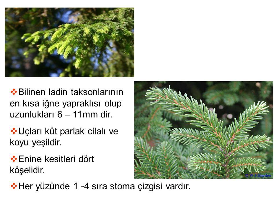 Bilinen ladin taksonlarının en kısa iğne yapraklısı olup uzunlukları 6 – 11mm dir.
