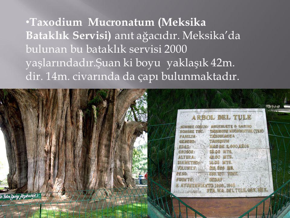 Taxodium Mucronatum (Meksika