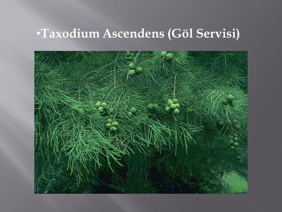 Taxodium Ascendens (Göl Servisi)