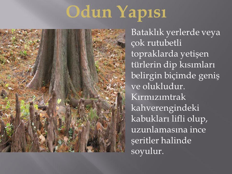 Odun Yapısı