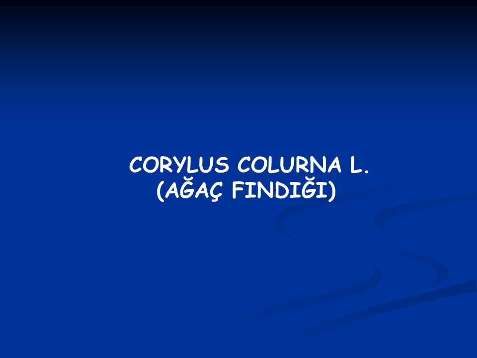 CORYLUS COLURNA L. (AĞAÇ FINDIĞI)