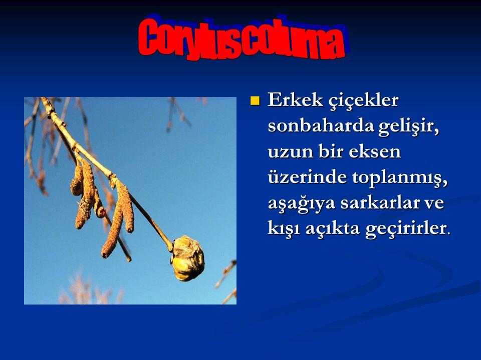 Corylus colurna Erkek çiçekler sonbaharda gelişir, uzun bir eksen üzerinde toplanmış, aşağıya sarkarlar ve kışı açıkta geçirirler.