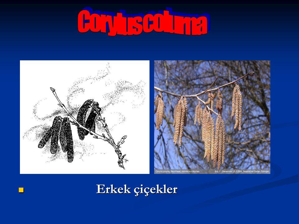 Corylus colurna Erkek çiçekler