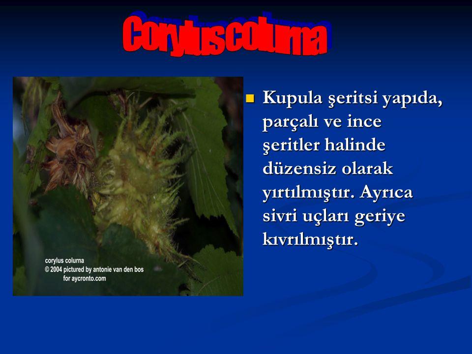 Corylus colurna Kupula şeritsi yapıda, parçalı ve ince şeritler halinde düzensiz olarak yırtılmıştır.