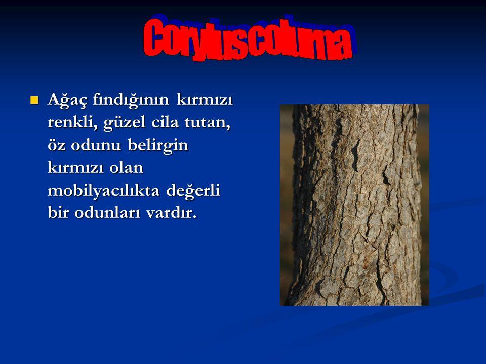 Corylus colurna Ağaç fındığının kırmızı renkli, güzel cila tutan, öz odunu belirgin kırmızı olan mobilyacılıkta değerli bir odunları vardır.