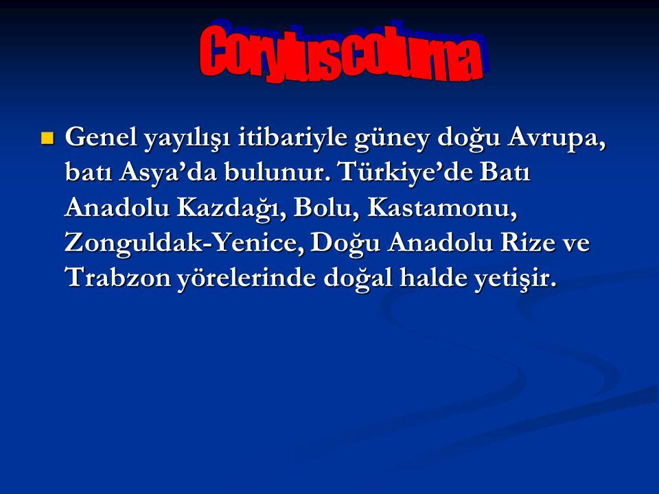 Corylus colurna
