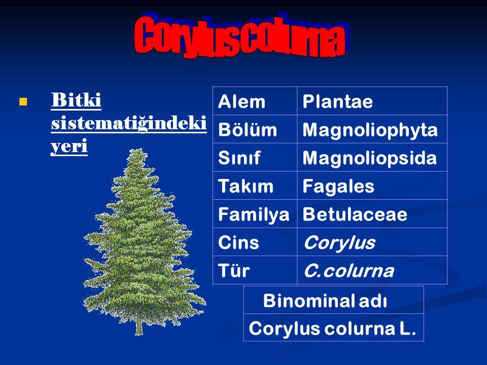 Corylus colurna Bitki sistematiğindeki yeri Alem Plantae Bölüm