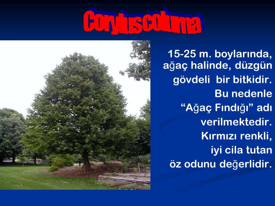 Corylus colurna 15-25 m. boylarında, ağaç halinde, düzgün