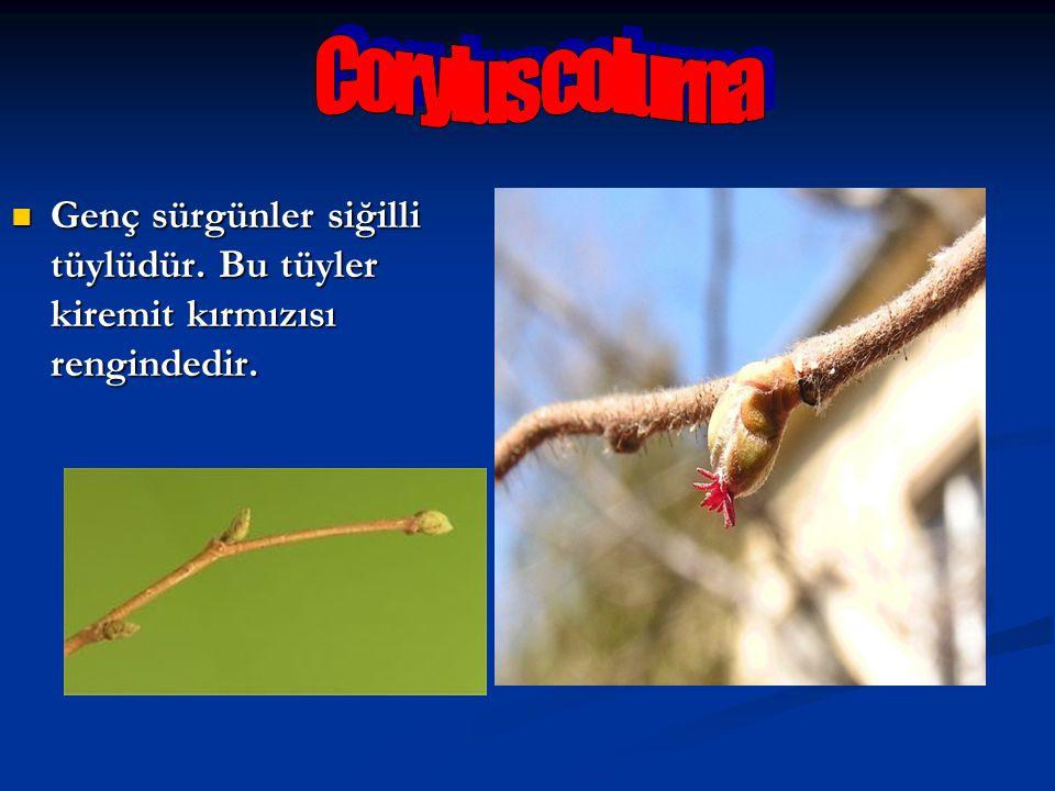 Corylus colurna Genç sürgünler siğilli tüylüdür. Bu tüyler kiremit kırmızısı rengindedir.