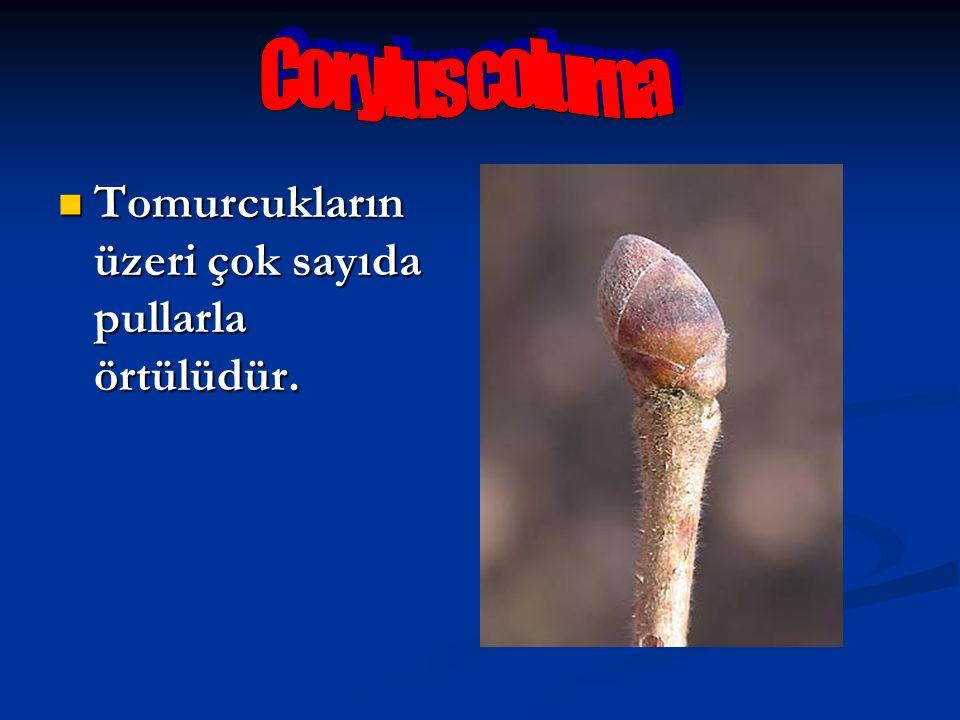 Corylus colurna Tomurcukların üzeri çok sayıda pullarla örtülüdür.