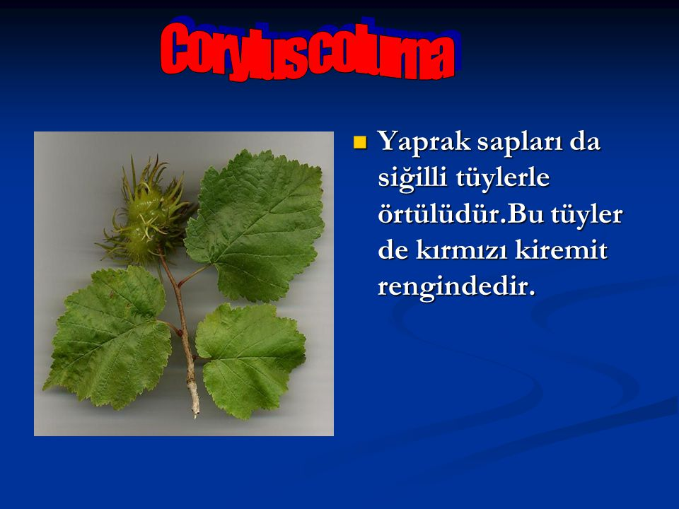 Corylus colurna Yaprak sapları da siğilli tüylerle örtülüdür.Bu tüyler de kırmızı kiremit rengindedir.
