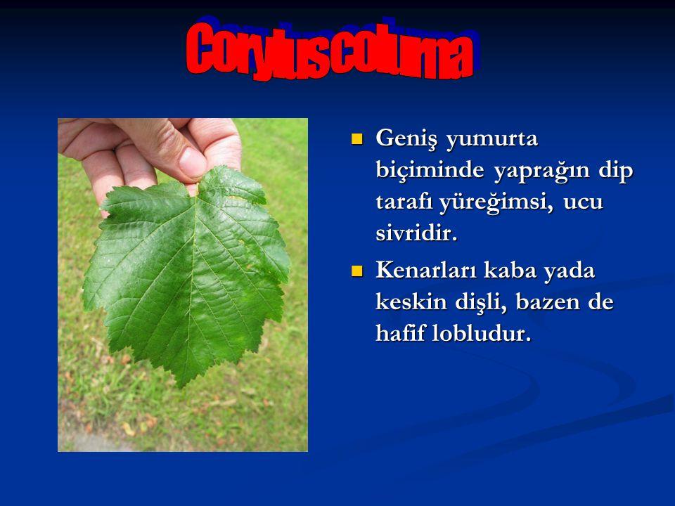 Corylus colurna Geniş yumurta biçiminde yaprağın dip tarafı yüreğimsi, ucu sivridir.
